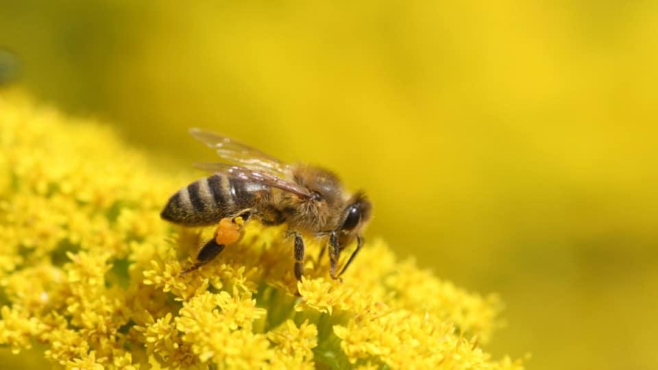 غذاء ملكات النحل