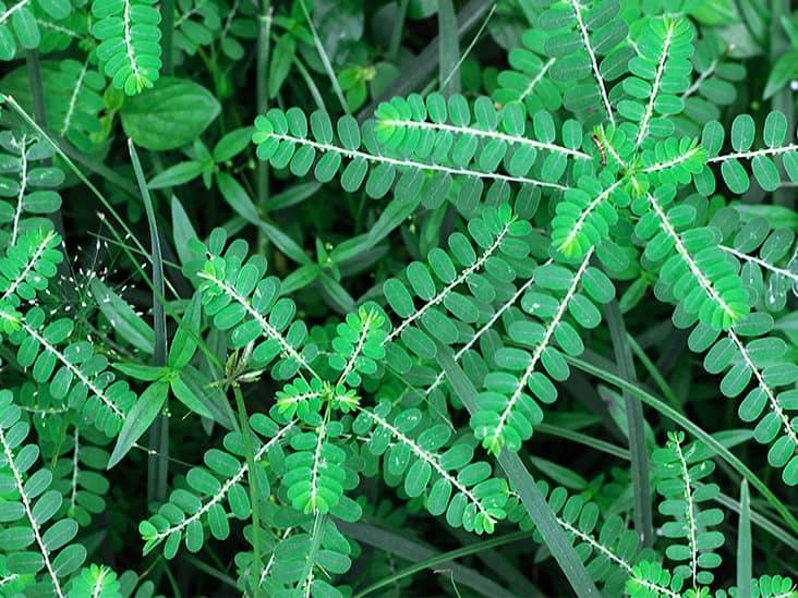 عشبة شانكا بيادرا