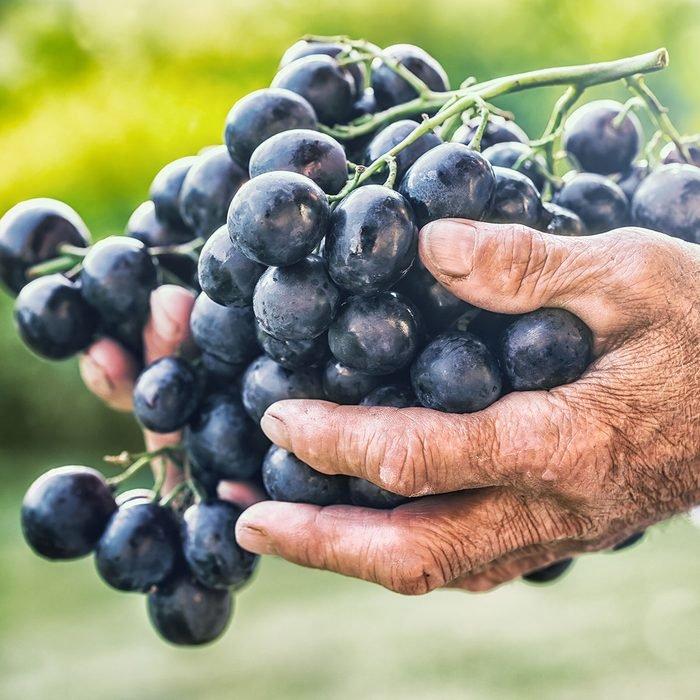 عناقيد عنب أسود أو أزرق في يد مزارع كبير السن.