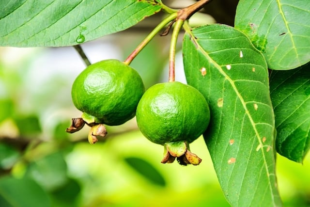 الجوافة لعلاج الإفرازات المهبلية - أونيلا