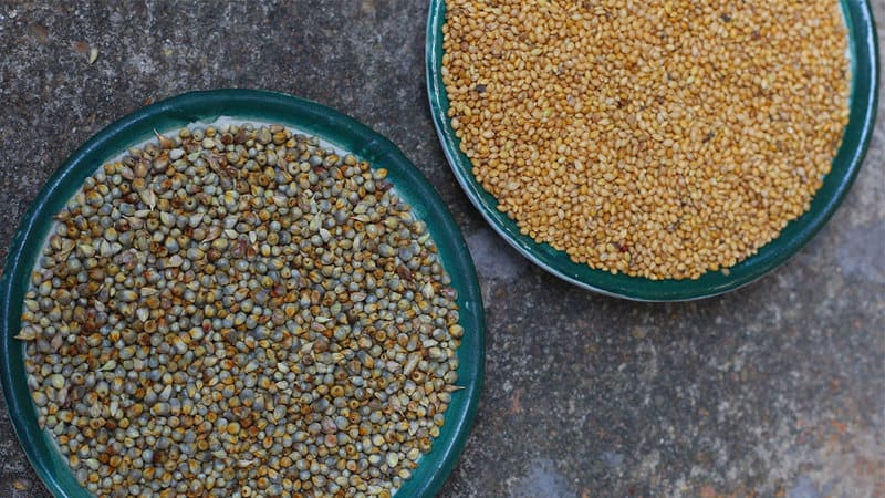 type of millets 11