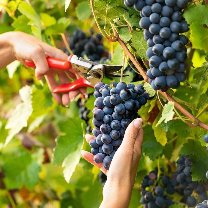 امرأة شابة جميلة تقطف عناقيد العنب الأسود الناضج على الكروم في مزرعة عنب للنبيذ في منظر قريب من يديها والمقصات